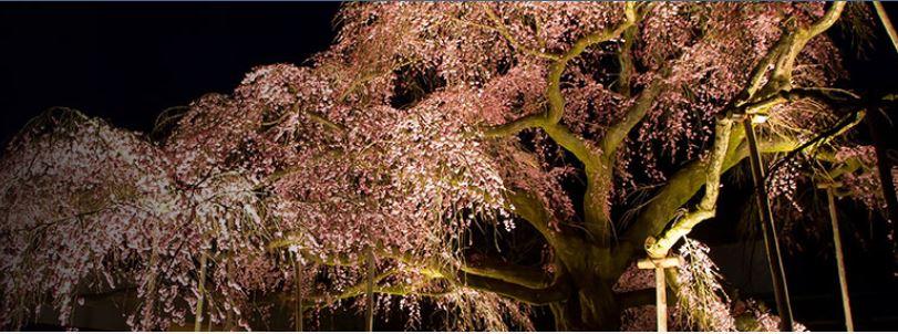 夜の観桜会